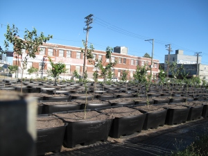 Trees grow in pots to avoid contaminated soil at Sole Food's city orchard in the heart of Vancouver.